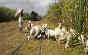 Dampflok rollt über Zuckerrohrplantage in Indonesien während eine Schafherde auf den Gleisen grast.